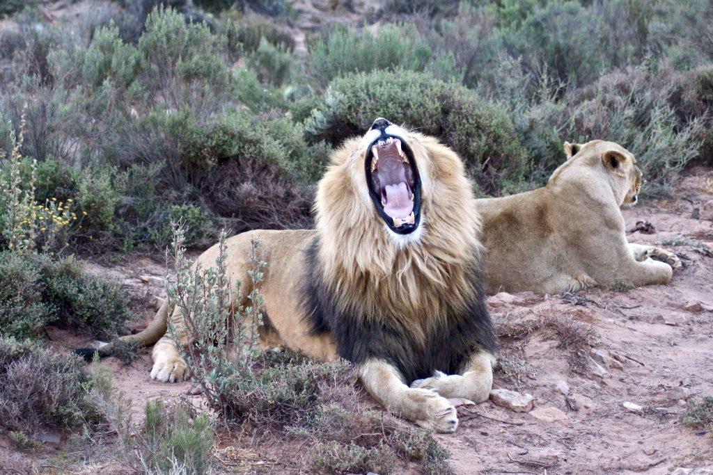 Tiere im Zoo Gähnender Löwe mit schwarzer Mähne. Löwenbabys streicheln