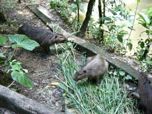 Wasserschweine in Ecuador, Volunteering mit Tieren