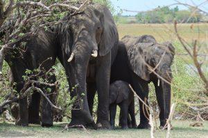 Elefantenherde Elefanten im Tourismus Thailand Asien Elefantenreiten