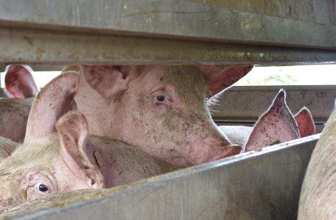 Schweinetransport Schweinefleisch ungesund