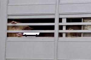 Schweinetransport Schweinefleisch Schweine Tierleid