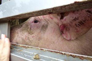 Tiere als Fleischlieferant Schweinetransporter Schweine Schweinefleisch Tierleid