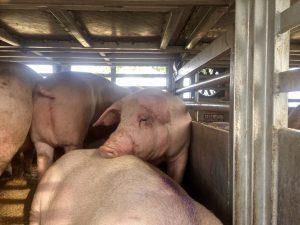 Schwein Schweinefleisch Schweinetransporter