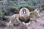 Löwe Löwenjagd Löwenbaby streicheln Jagd Tierschutz