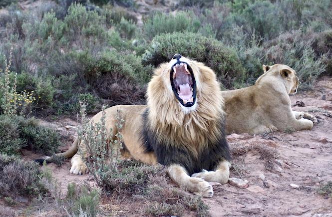 Von entführten Löwenbabys und ahnungslosen Touristen