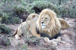 Wilde Tiere Löwen Artenschutz