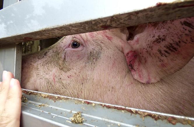 Schweine schlachten Schweinefleisch Schweinetransport