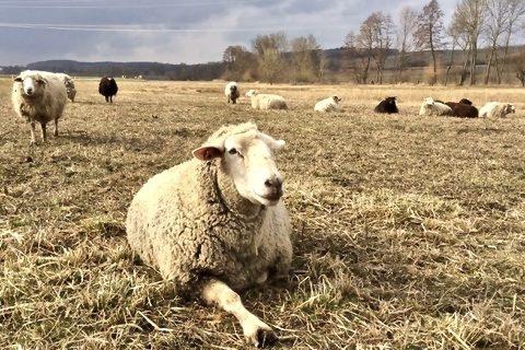 Schafe Tierschutz Lebenshof