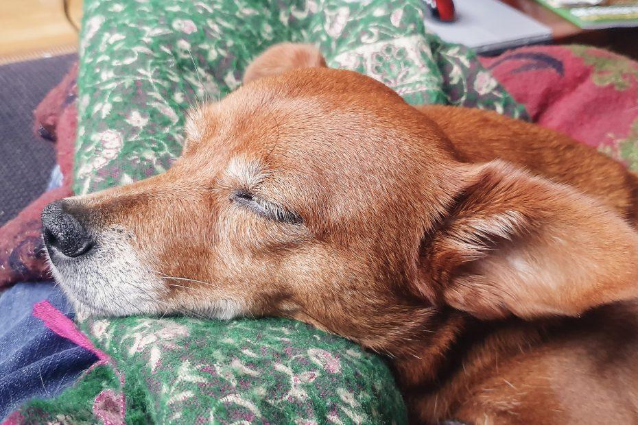 Hund aus dem Ausland Tierschutz schlafender Hund