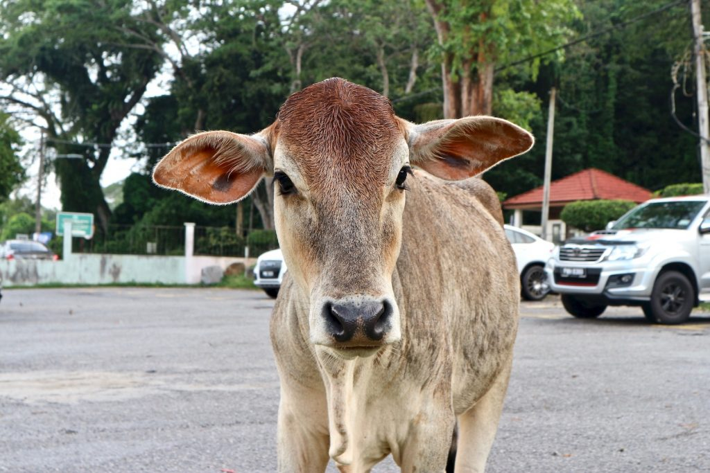 Kalb Malaysia Rind vegan
