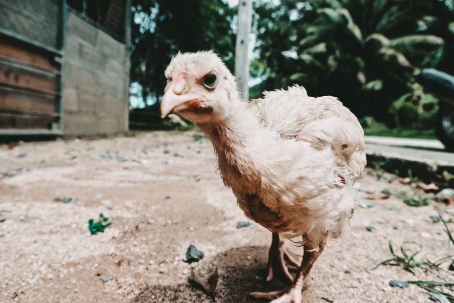 eigene Hühner züchten Tierschutz Zwerghühner
