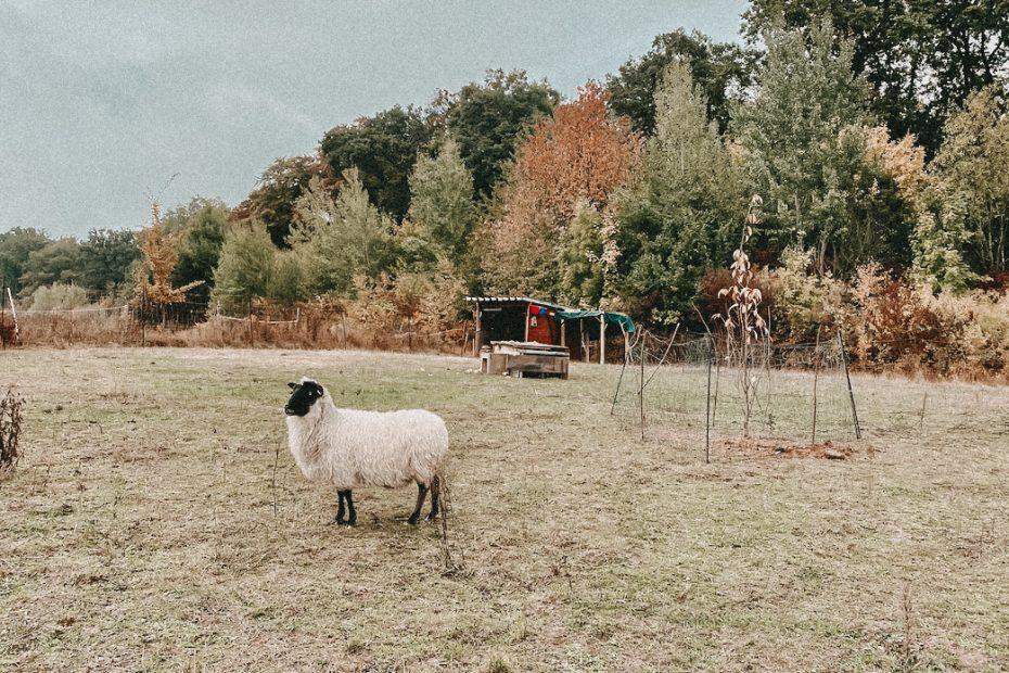 Schafe Tierhilfe Tierschutz Heilbronn