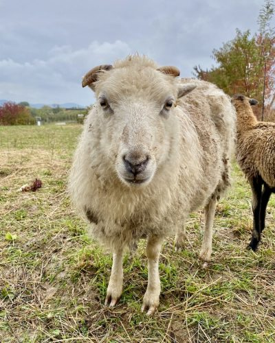Tierschutz Schaf Tieren helfen Heilbronn